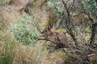 WA_NatureConservancy_PygmyRabbit_HannahLetinich297.jpg