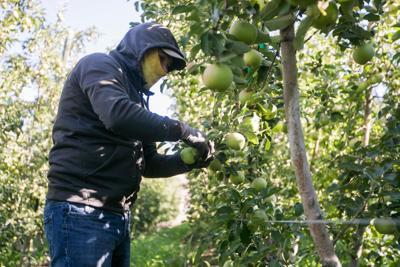Apple harvest forecast downgraded a bit