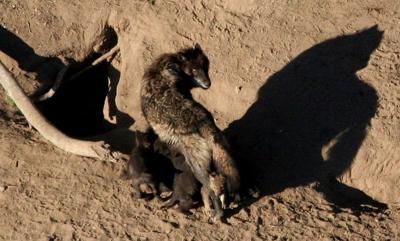 FILE PHOTO: A gray wolf and its nursing pups are pictured in Yellowstone National Park in undated handout photograph