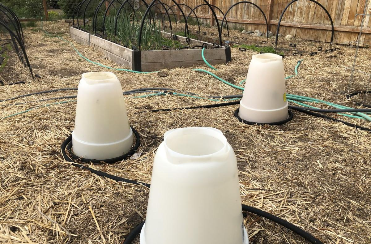 Tomato plants under aqua domes