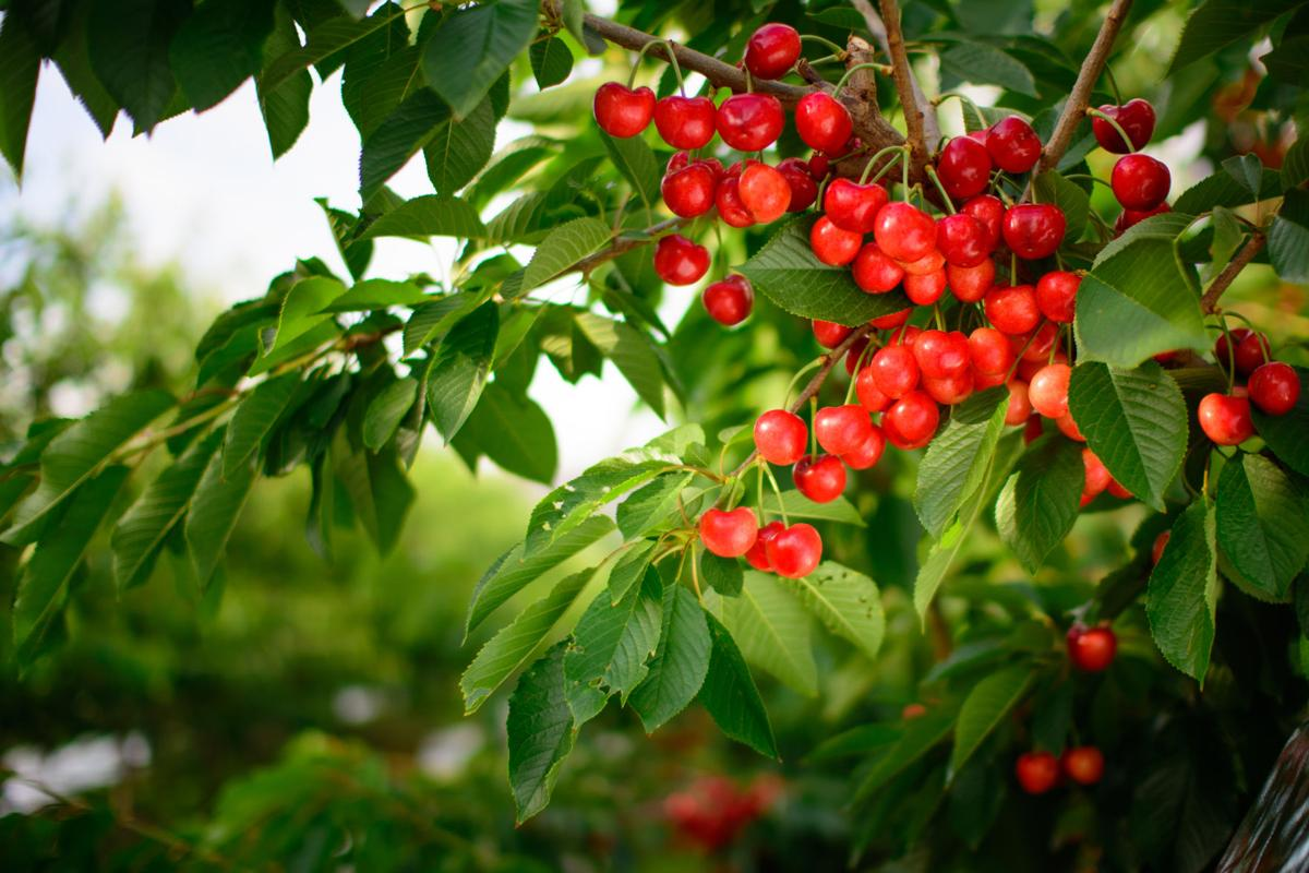 Stemilt and CMI are partnering to promote a unique cherry