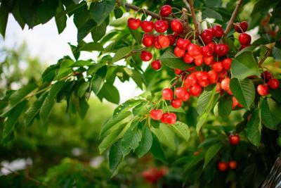 Skylar-Rae-Mattawa-Harvest-Stemilt-0600.jpg