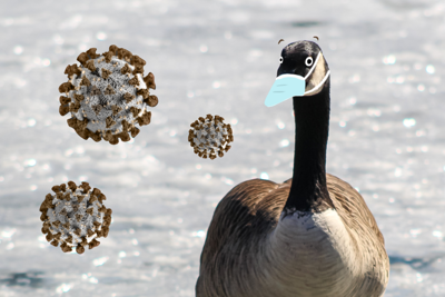 SPOOF New virus GOVID-19 traced to western geese (png)