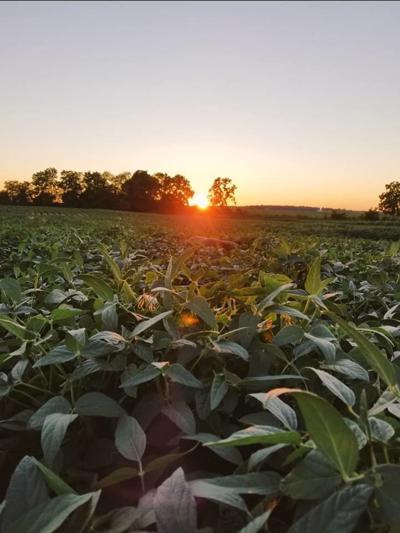 Corn field (Photo)