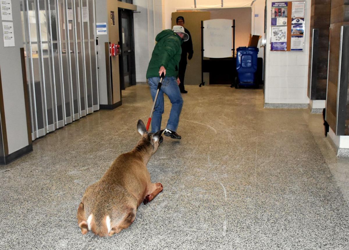 Deer rescue (Photo 3)
