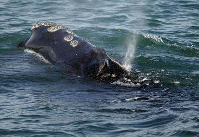Right Whale Protection