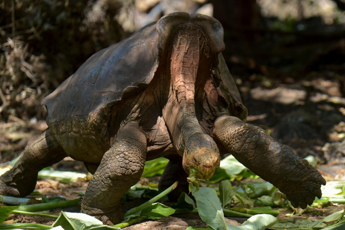 This playboy tortoise had so much sex he saved his entire species. Now he's going home
