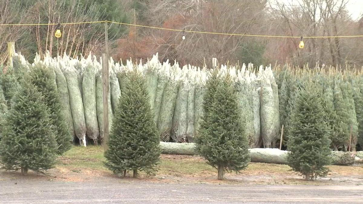 WMass holding steady amid national Christmas tree shortage