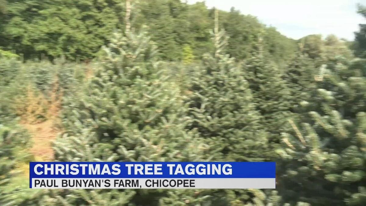Chicopee Christmas Tree Farm Gearing Up For Tagging Next Week News Westernmassnews Com