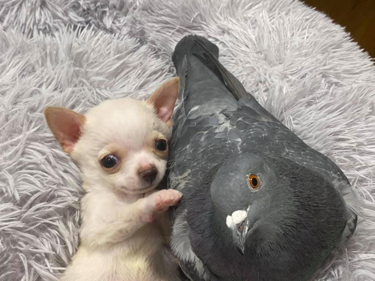 A pigeon that can't fly befriended a puppy that can't walk. Yes, it's as cute as it sounds