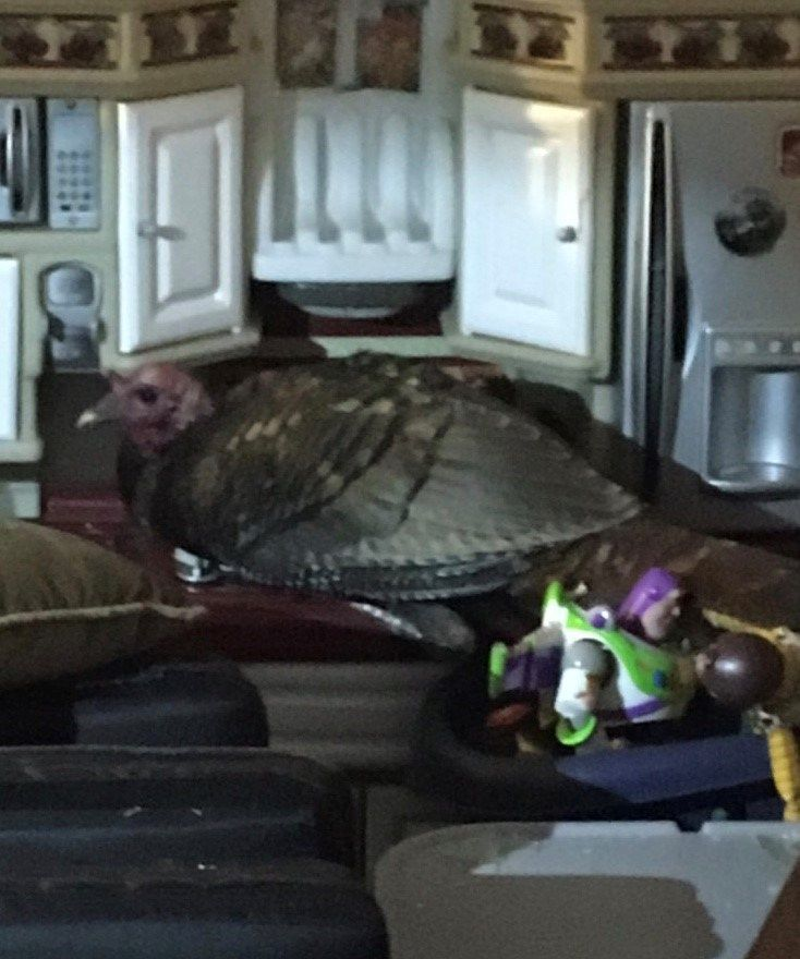 Turkey makes unexpected visit to family's living room