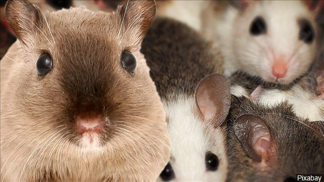 Pest companies busy as mice look for warmth in local homes