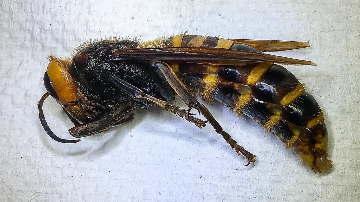 Washington state has trapped its first 'murder hornet'