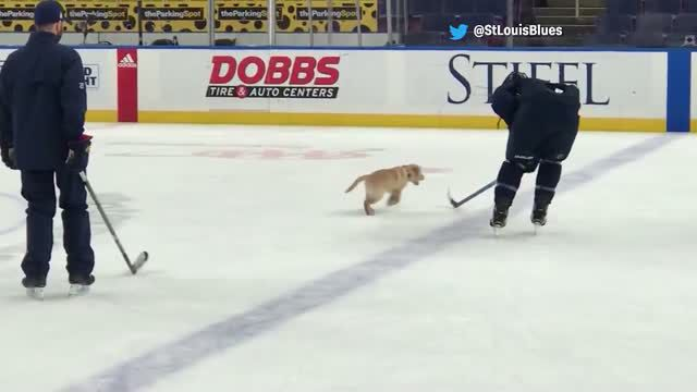 ADORABLE: NHL puppy plays with team on ice