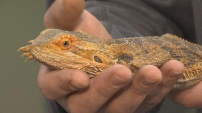 Caged lizard found abandoned near Chicopee dumpster.