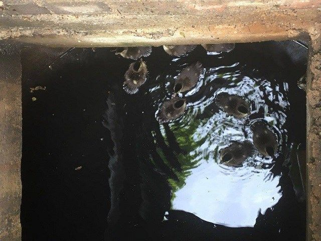 Ducklings rescued from storm drain in Springfield