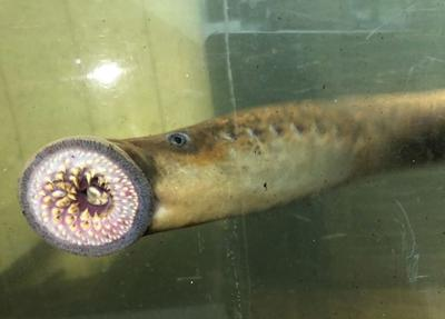 A 'vampire fish' is spawning in Vermont's waters. Experts say most of them are nothing to worry about