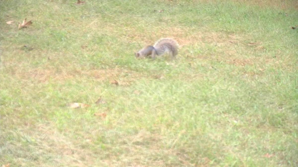 Squirrels gathering food supply for the upcoming winter