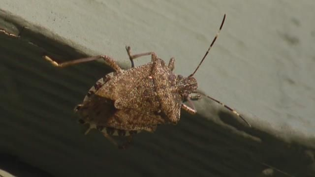 Stink bugs return with warmer weather