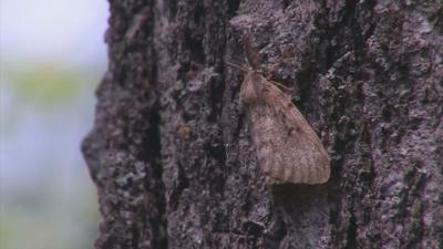 Gypsy moths file 051519