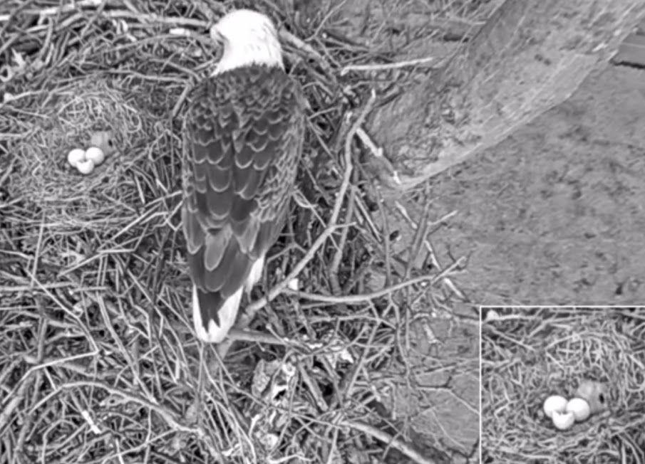 Avon Lake: Bald eagle eggs