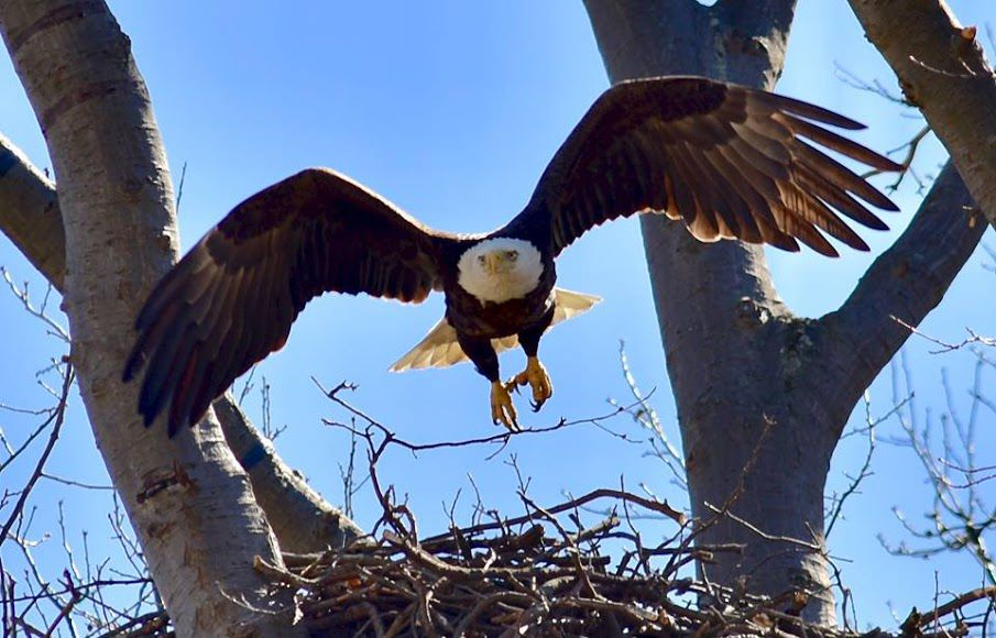 Avon Lake: Bald eagle egg hatches