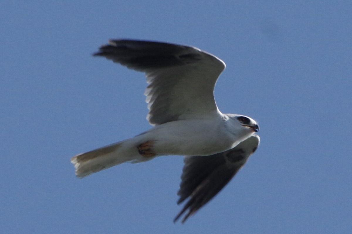 white tailed kite - michael mutoza.jpg