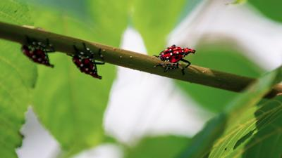Grants to help property owners fend off spotted lanternflies