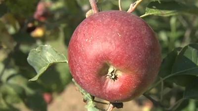 Investigators say half-eaten apple leads to burglary suspect
