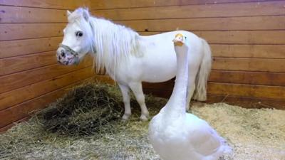 If you want to adopt a miniature horse, you'll also need to adopt his best friend - a farm goose