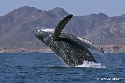 Humpback whale off the coast of the Gulf of California