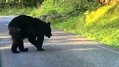 Bear on Skyline Drive Lower Alsace Township