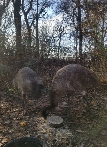 Emu picture