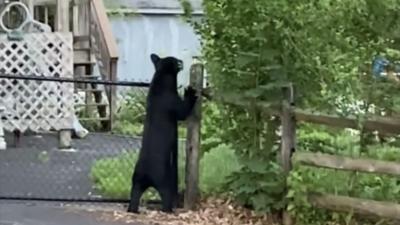 black bear sighting in Perkasie