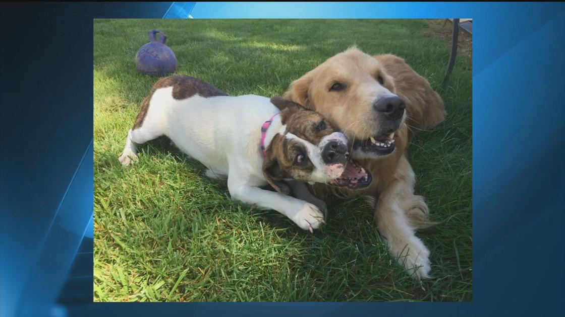 Pets of the Month: Snoopy and Woodstock from Delaware Valley Golden Retriever Rescue
