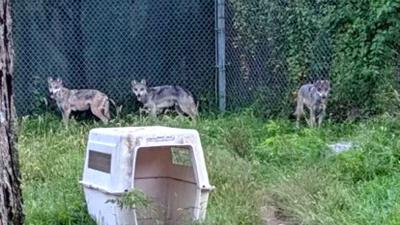 Mexican Gray Wolves at LV Zoo