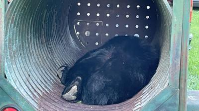 Bear caught at Whitehall Twp. cemetery