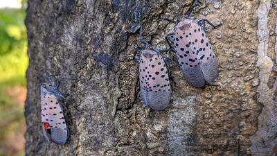 Spotted lanternfly task force: 'Getting the word out' is key