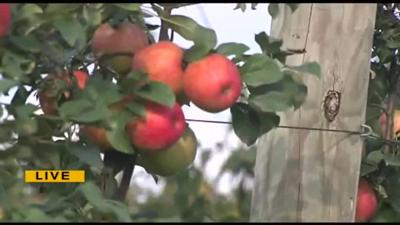 Apple-picking season arrives early at Grim's Orchard