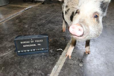 Bethlehem police capture lost pig Thanksgiving eve