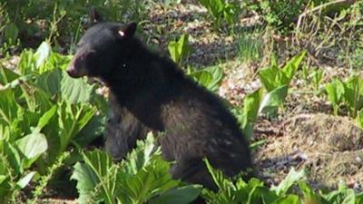Black bears emerge from winter slumber, begin food search