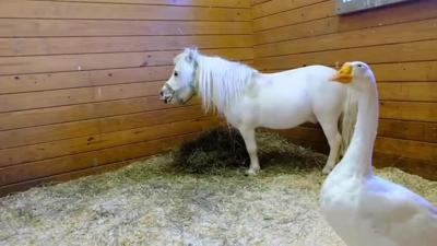 Waffles and Hemingway, mini horse and goose pair, get new home