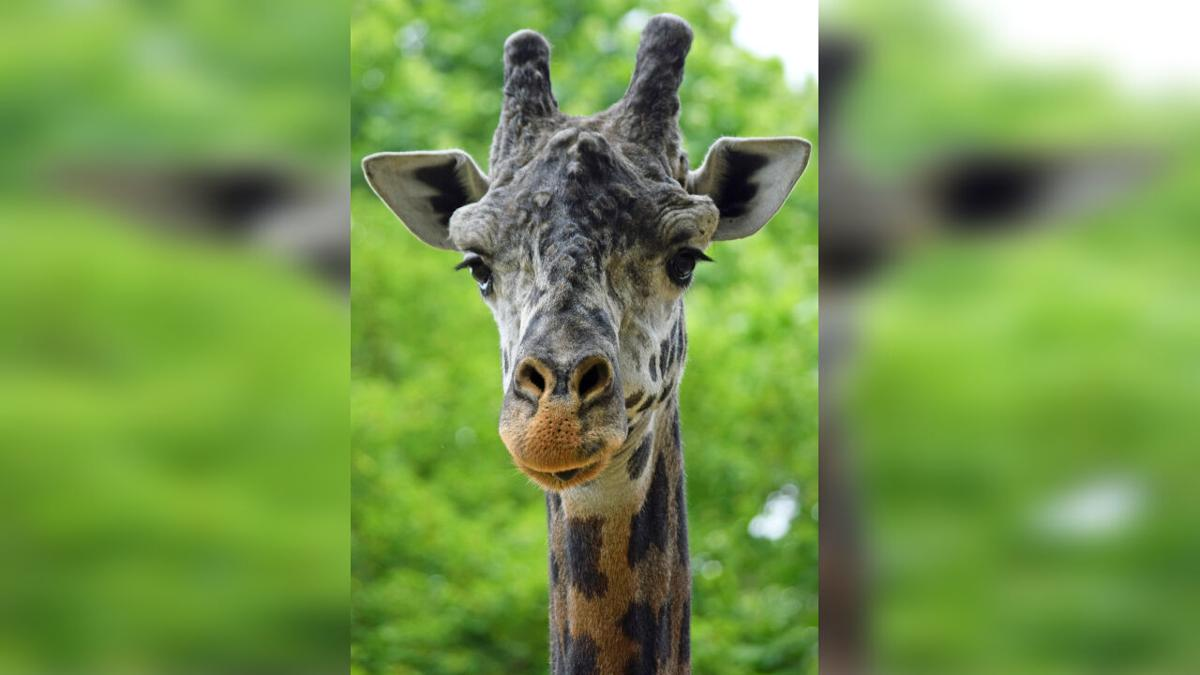 Lehigh Valley Zoo, Murphy the Giraffe
