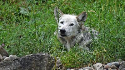 Beta Mexican gray wolf