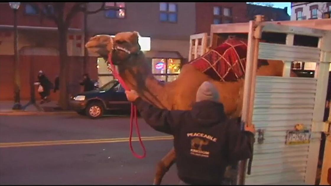Einstein the Snow Camel to make appearance at fundraiser