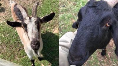 Farm's goats stolen for 2nd time; reward offered for return