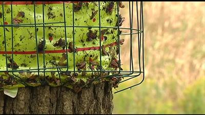 Reports: Lanternfly 'sticky bands' catching birds, squirrels