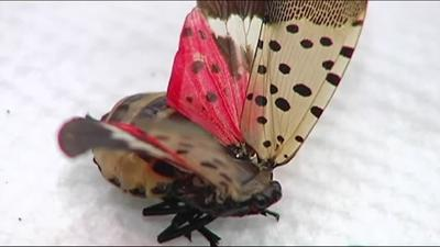 Eggs from spotted lanternfly may be in Christmas trees