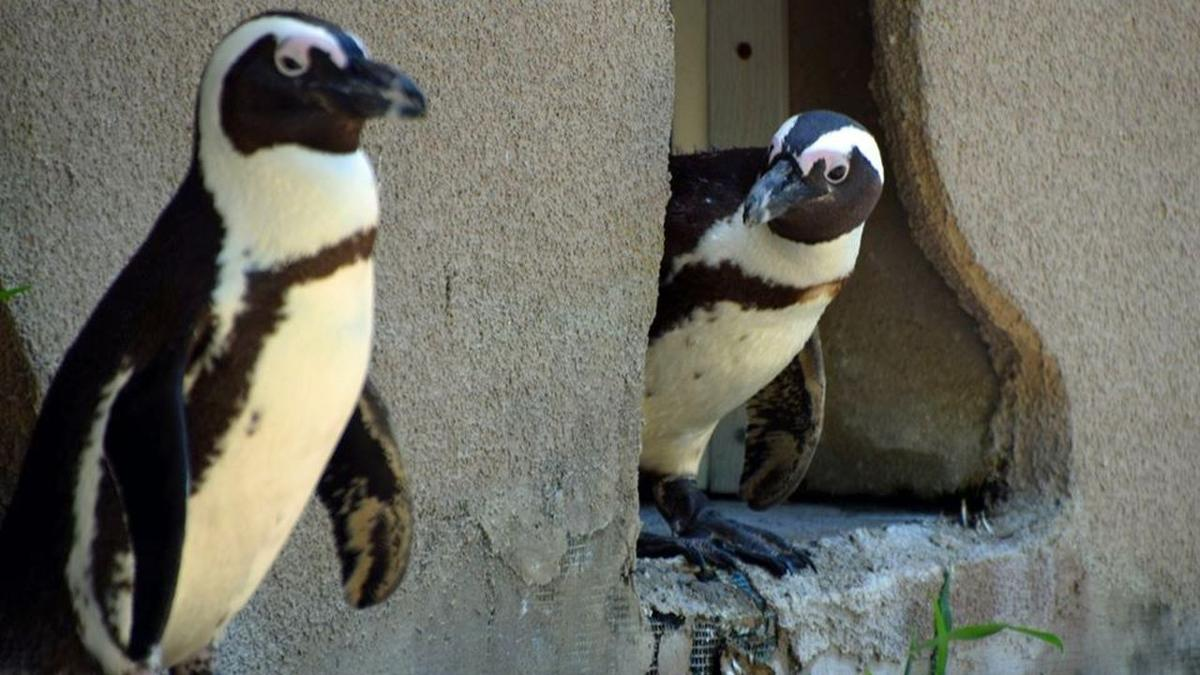 Penguins at Lehigh Valley Zoo