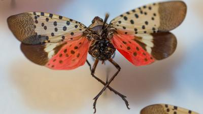 Graphic -- Spotted lanternfly.jpg